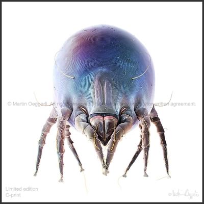 Oeggerli-Dermatophagoides-001-ART2-ice