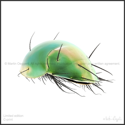 Oeggerli-Scutacaridae-007097_ART_3a